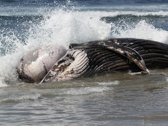 La ballena fue rescatada tras ser avistada el lunes flotando inerte e incapaz de nadar en el canal de Songhkla