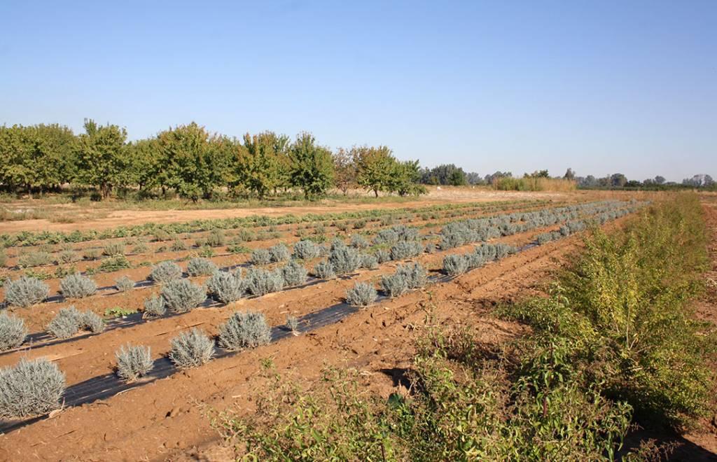 Plantas medicinales y aromáticas de alta calidad, la alternativa de cultivo de la mano de CICYTEX